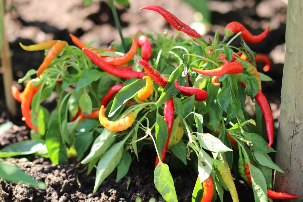 Chili - Capsicum