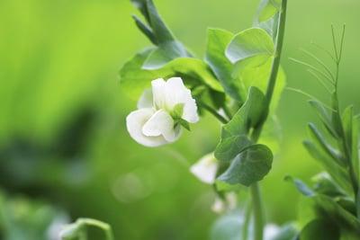 Erbsen - Pisum sativum