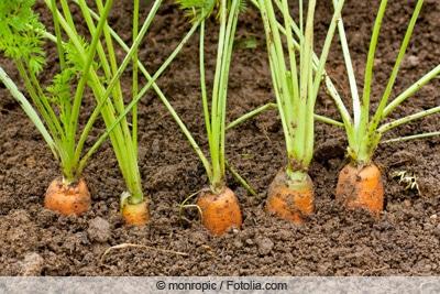 Karottenköpfe schauen aus Beet