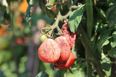 Kranke Tomate