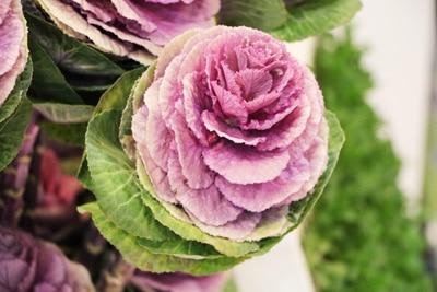 Zierkohl - Brassica oleracea