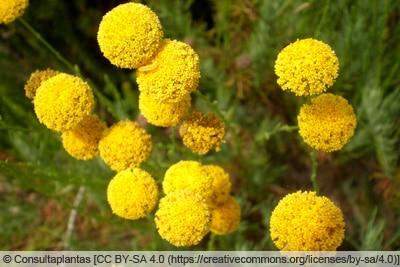 Olivenkraut mit gelben Blüten