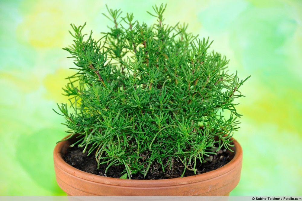 Olivenkraut - Santolina viridis