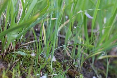 Schnittknoblauch - Allium tuberosum