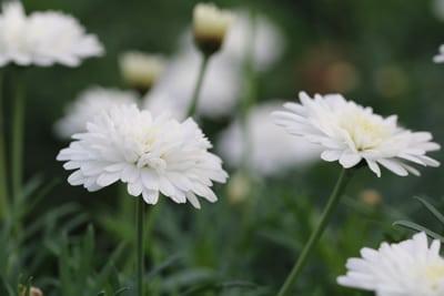Strauchmargerite-Argyranthemum-frutescens