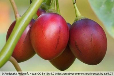 Reife Früchte des Tomatenbaums