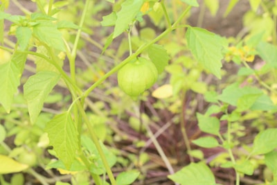 Physalis pruinosa - Ananaskirsche