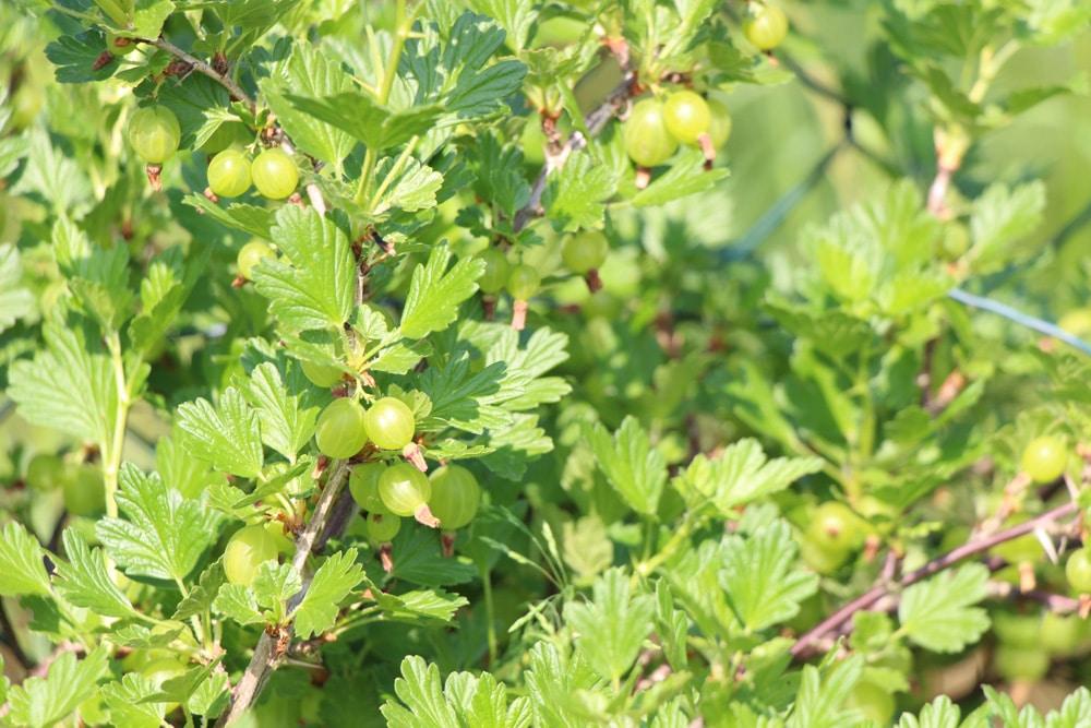 Stachelbeere - Ribes uva-crispa