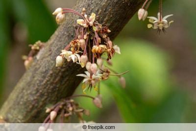 Blüten des Kakaobaums