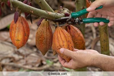 Ernte des Kakaobaums