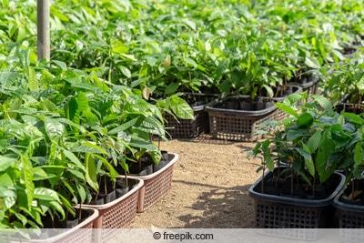 Kakaobaumplantage