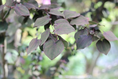 Katsurabaum - Cercidiphyllum japonicum 'Rotfuchs'