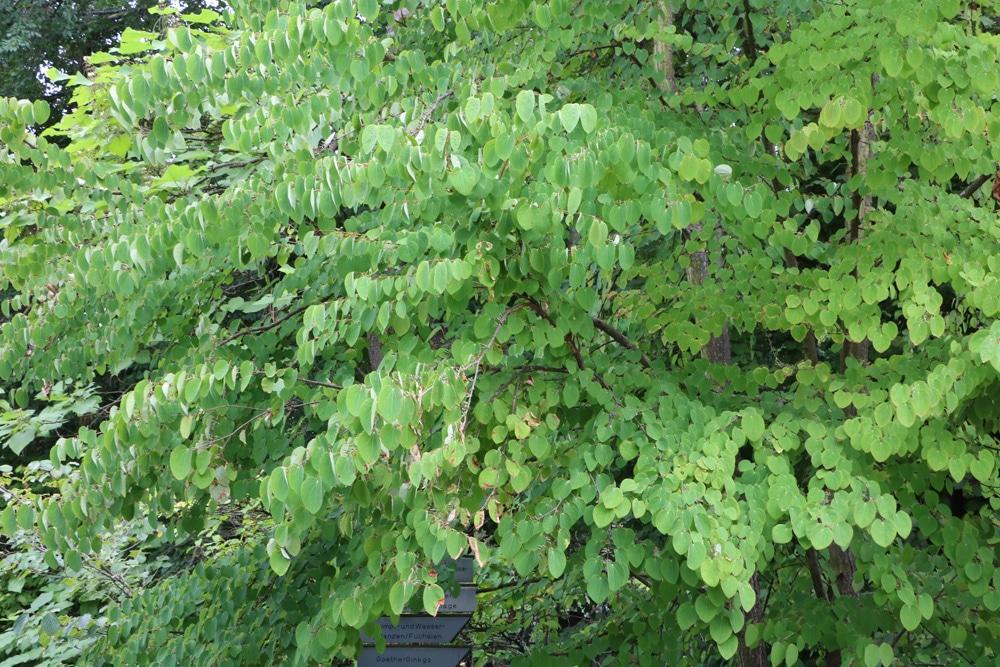 Katsurabaum - Cercidiphyllum japonicum
