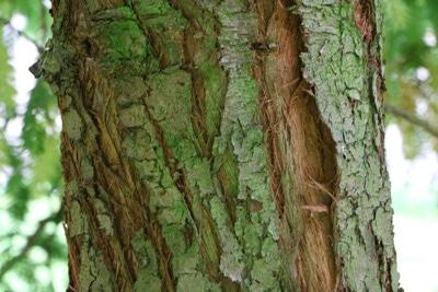 Stamm des Küstenmammutbaums