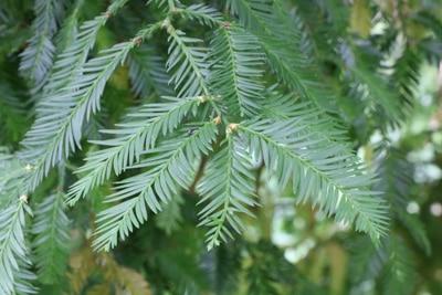Nadeln des Küstenmammutbaums