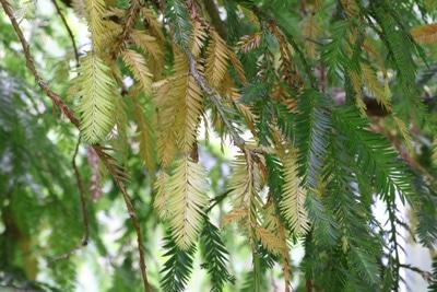 Küstenmammutbaum mit braunen Nadeln
