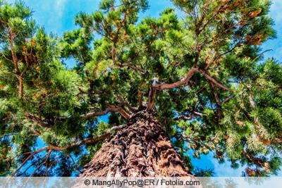 Mammutbaum von unten nach oben fotografiert