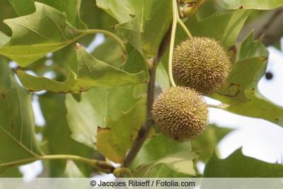 Früchte der Platane