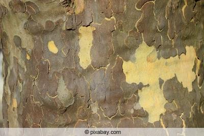 Abblätternde Rinde einer Platane