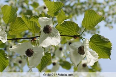Taschentuchbaum - Davidia involucrata