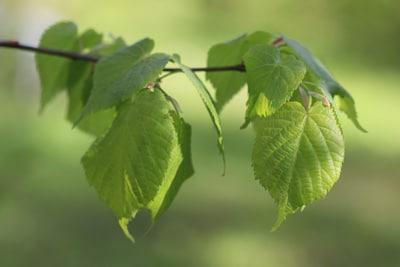Blätter der Winterlinde