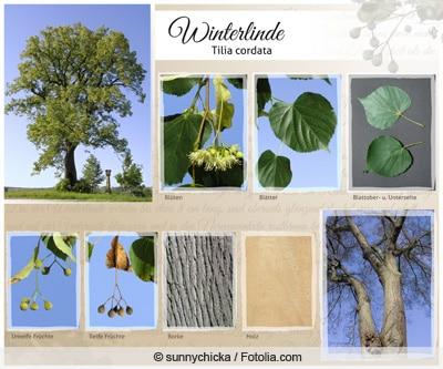 Collage der Winterlinde