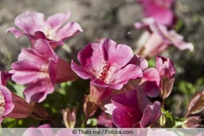 Affenblume - Gauklerblume - Mimulus