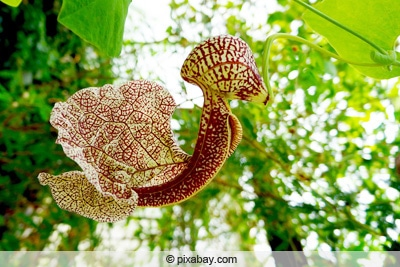 Gespensterpflanze - Aristolochia