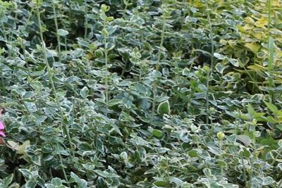 Kriechspindel - Euonyus fortunei