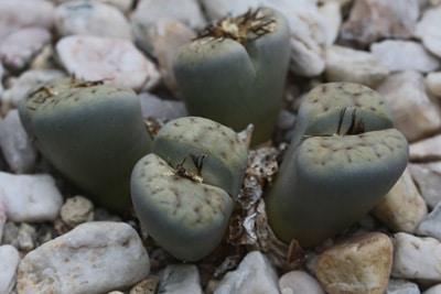 Lebende Steine - Lithops