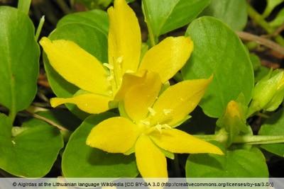 Blüte des Pfennigkrauts