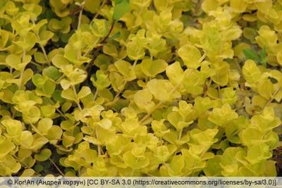 Pfennigkraut - Lysimachia nummularia 'Goldilocks'