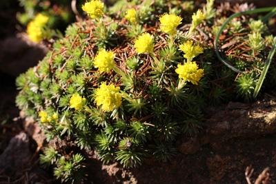 Steinbrech-Saxifraga-Juniperifolia