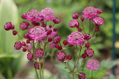 Sterndolde - Astrantia major