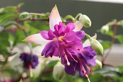 Fuchsien - Fuchsia
