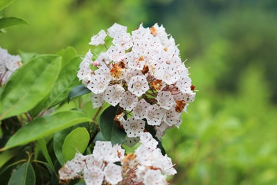 Lorbeerrose - Kalmia latifolia