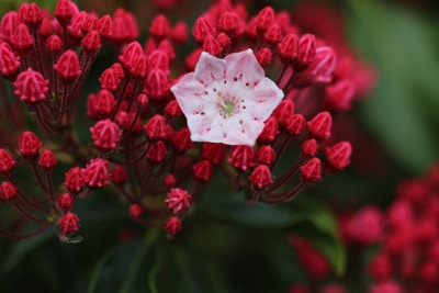 Lorbeerrose - Kalmia latifolia 'Ostbo red'