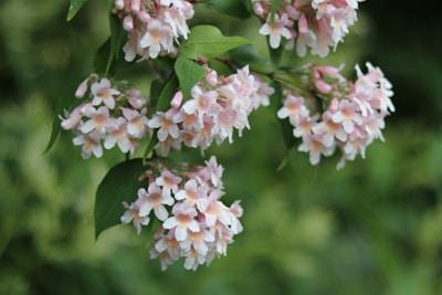 Perlmuttstrauch - Kolkwitzia amabilis