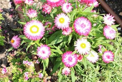 Strohblume - Helichrysum