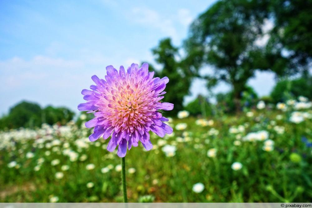 Witwenblume - Knautia arvensis