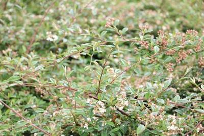 Zwergmispel - Cotoneaster dammeri