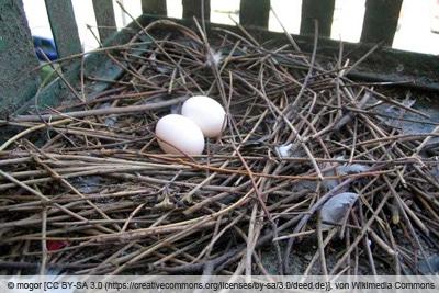Nest einer Stadttaube mit 2 Eiern