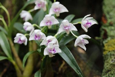 Kahnorchidee - Cymbidium
