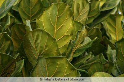 Geigenfeige - Ficus lyrata