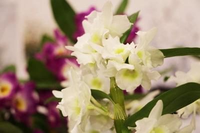 Dendrobium-Orchidee