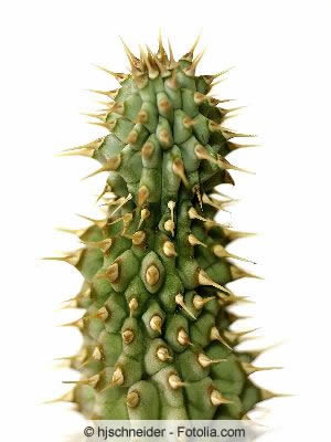 Hoodia Kaktus