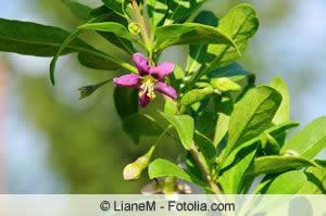 Goji Pflanze