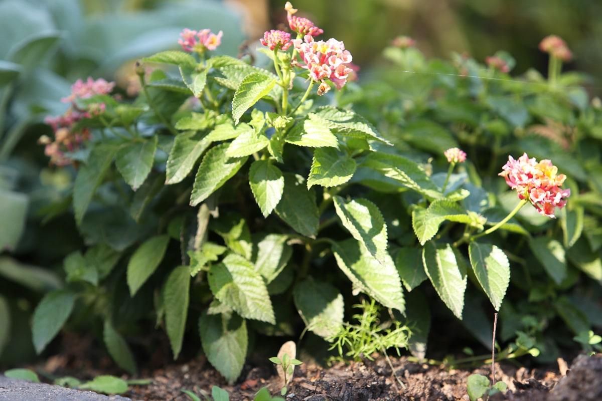 Wandelröschen überwintern - Lantana camara im Garten