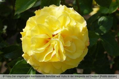 Strauchrose 'Lichtkönigin Lucia'