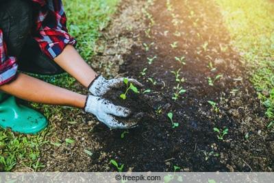 Chinakohl-Setzlinge auspflanzen